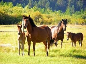 О популяции диких лошадей в заповеднике «Ростовский»