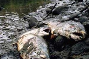 В реке Дон погибли около пяти тысяч особей.